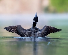 Common loon in a lake in northern Quebec Canada.